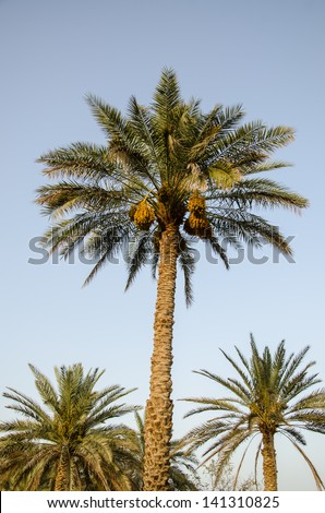 Palm Tree with date fruits