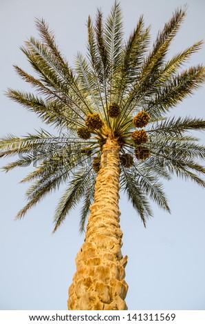 Palm Tree with date fruits - stock photo