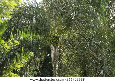 palm tree with fruit on nature - stock photo