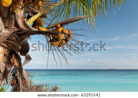Palm tree with fruits on the beach. - stock photo