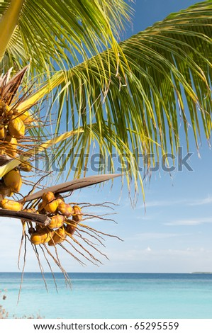 Palm tree with fruits on the beach.