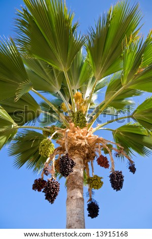Palm tree with hanging clusters of fruit - stock photo