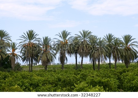 Palm trees in a row in an Mediterranean orange tree field