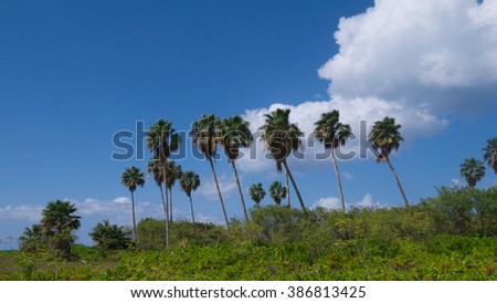 Palm trees in Grand Cayman, Cayman Islands