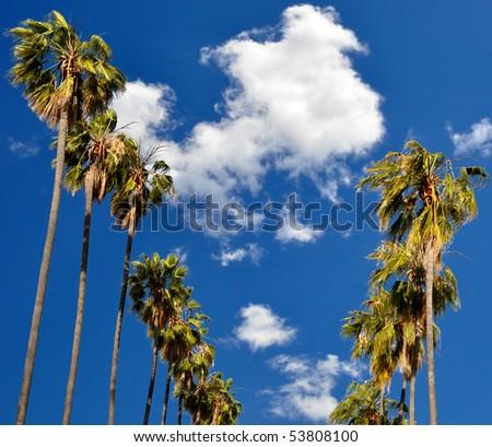 Palm Trees in Pasadena, California. - stock photo