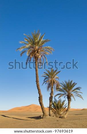 Palm trees in the Sahara desert - stock photo