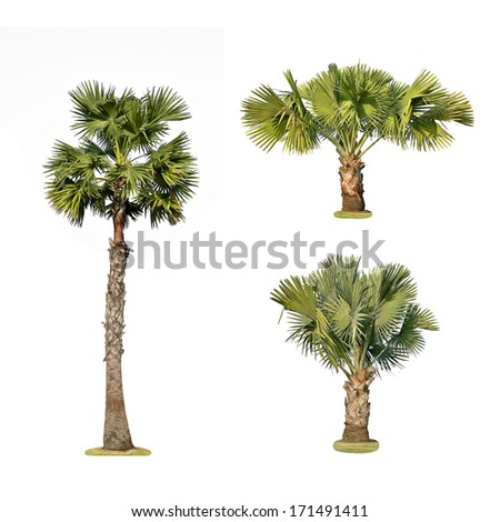 Palm trees isolated on white - stock photo