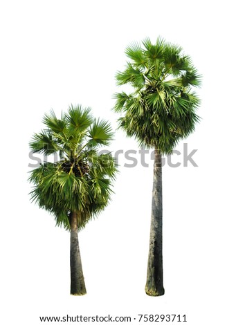 Palm trees isolated on white backgroung