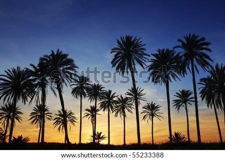 palm trees sunset golden blue sky backlight in mediterranean - stock photo