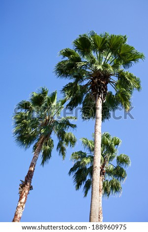 Palm trees with blue sky background.