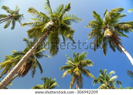 Palm trees with coconut under blue sky