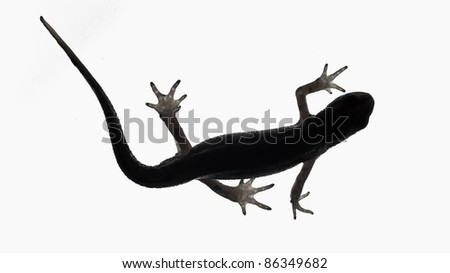 Palmate newt. Dark silhouette of a newt  isolated on a white light background. Triturus helveticus. Lissotriton helveticus. Black and white. - stock photo