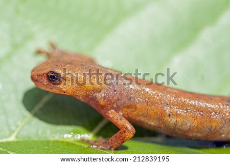 Palmate newt (Lissotriton helveticus). - stock photo