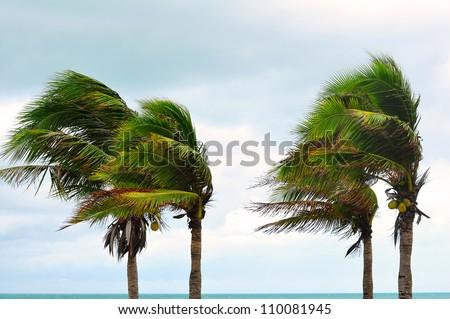 palms at hurricane - stock photo