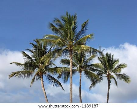 Palms at Waimea - stock photo