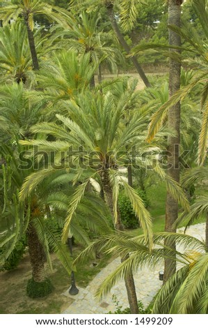 Palms in Elche, Declared Patrimony of the Humanity by UNESCO in the 2000 - stock photo