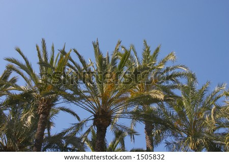 Palms in Elche with blue sky , Declared Patrimony of the Humanity by UNESCO in the 2000 - stock photo
