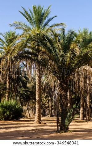 Palms in the desert