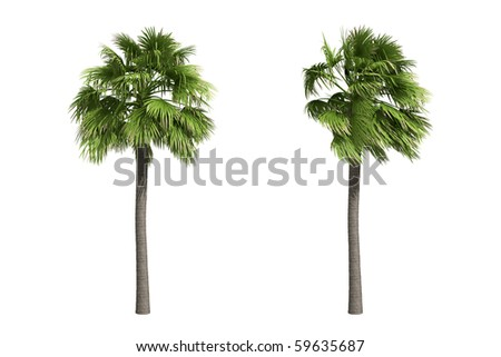 Palmyra palm isolated on white background