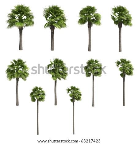Palmyra palms isolated on white - stock photo