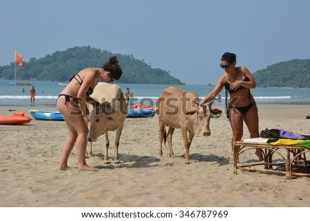 Palolem, India - October 23, 2015 - Cows on the Beach of Palolem, Goa, South India in sunset. Cows a part of daily life in India and roaming free.