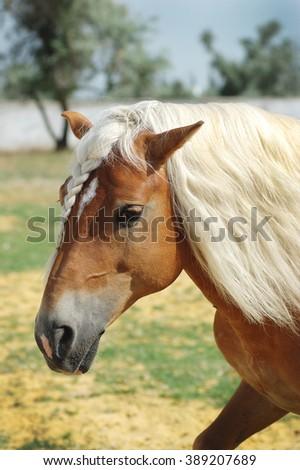 Palomino Haflinger horse portrait with long hair - stock photo