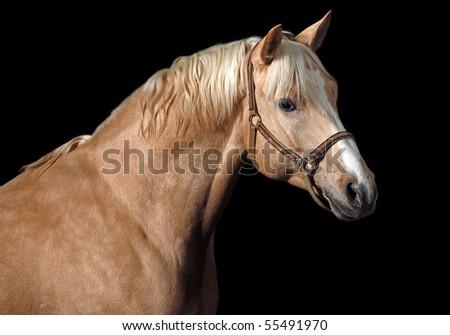 Palomino horse - stock photo