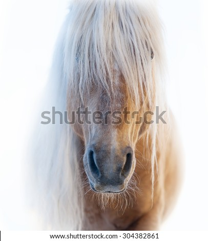 Palomino horse face with shaggy white forelock on white background - stock photo