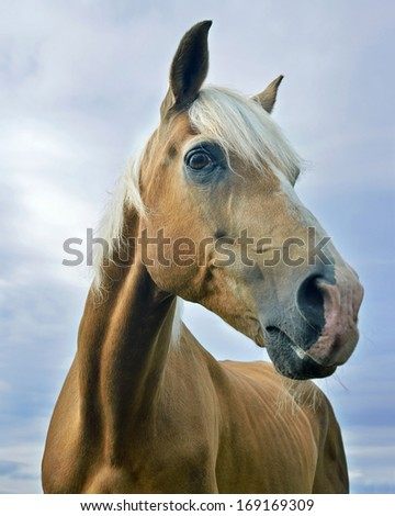 Palomino horse portrait outdoors