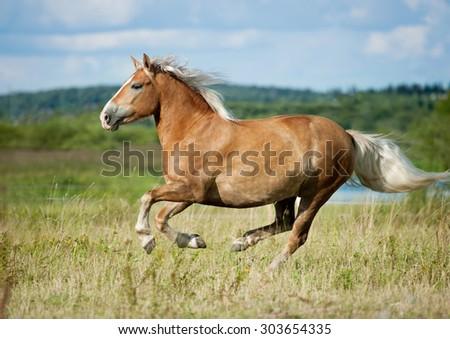Palomino horse runs free - stock photo
