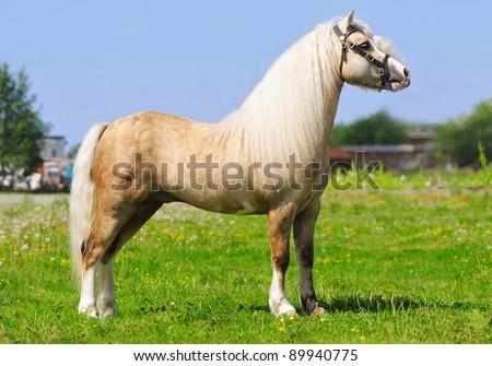palomino pony portrait - stock photo