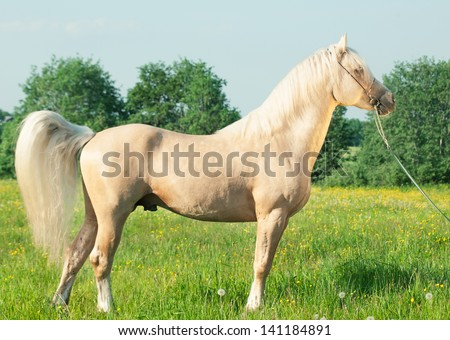 Palomino Stallion of welsh cob breed