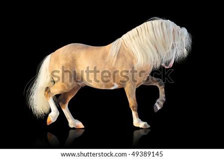 palomino welsh mountain stallion - stock photo