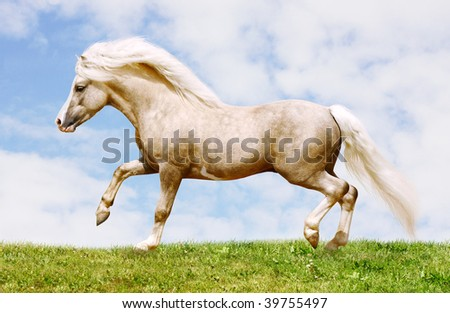 palomino welsh pony stallion galloping