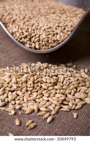 Palt malt barley, an ingredient for beer. - stock photo