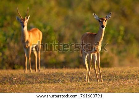 Pampas Deer Fawn