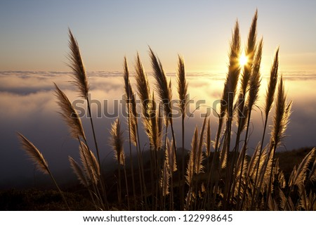 Pampas grass (Cortaderia selloana) along the Northern California coastline at sunset with fog over the Pacific Ocean. - stock photo