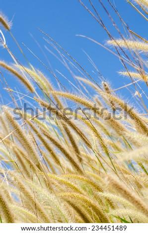 Pampass grass background - stock photo