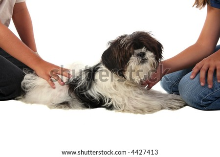 Pampered lhasa apso puppy being pet by children - stock photo
