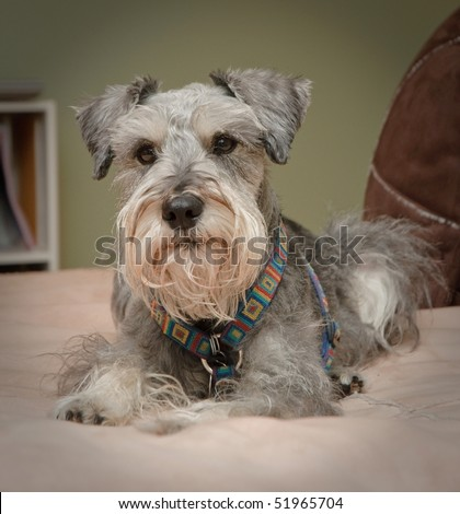 Pampered Pet miniature schnauzer dog laying on a plush bed - stock photo