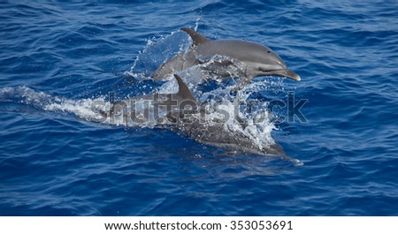 Pan-tropical spotted dolphins leaping out of the water - stock photo