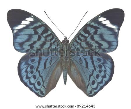 Panacea bleuzeni isolated on white background - stock photo