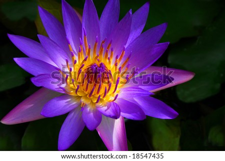 Panama Pacific Water Lily, Maui Hawaii - stock photo