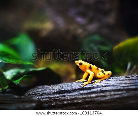 Panamanian Golden frog, (Atelopus zeteki), endangered species