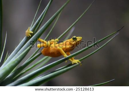 Panamanian Golden Frog, Atelopus zeteki, The All Yellow Variety - stock photo