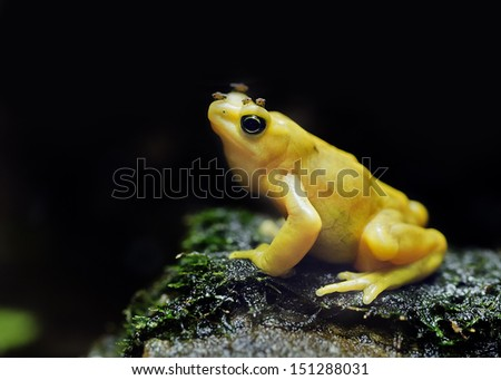 Panamanian yellow tree frog wearing his lunch