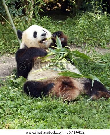 panda bear - stock photo