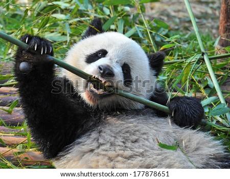 Panda bear biting on bamboo - stock photo