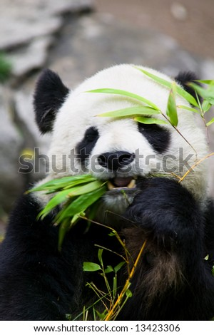 Panda Bear Eating - stock photo