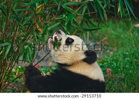 Panda bear eating babmboo at Chengdu Giant Panda Breeding Center Sichuan China